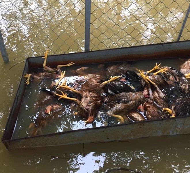 Xót xa hình ảnh 10.000 con gà chết chất đống sau cơn lũ dữ trong đêm - Ảnh 2.