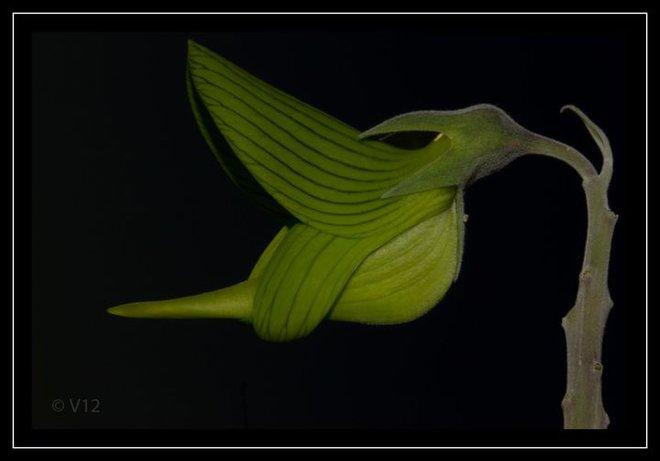 Kỳ lạ loài cây có hoa hình dạng như... chim - Ảnh 2.