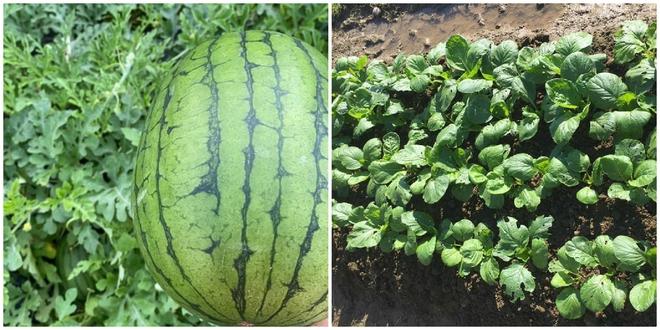 Hàng xóm cho mượn đất, cặp đôi trồng cả một gia tài lớn ở Nhật Bản: Tên từng loại khiến người ta phải ghen tỵ - Ảnh 4.