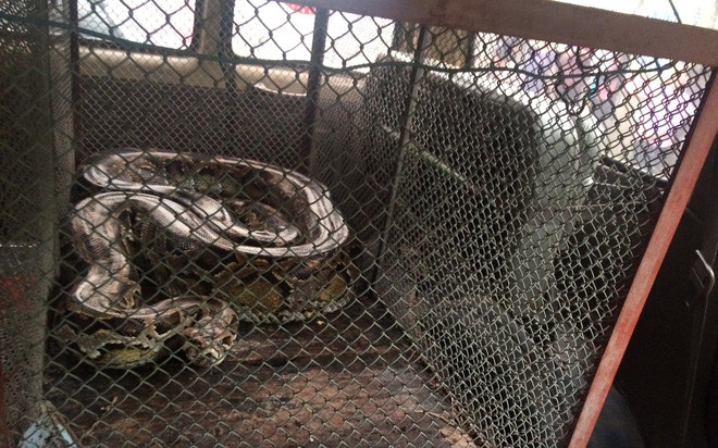 Người đàn ông bắt được con trăn gấm quý hiếm nặng 35 kg, dài 2,9 mét - Ảnh 2.