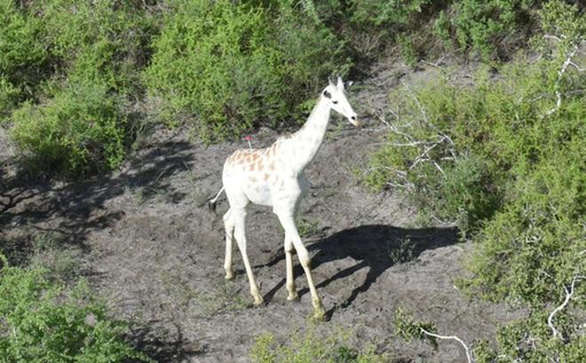 Con hươu cao cổ trắng duy nhất trên thế giới này hiện được bảo vệ bởi công nghệ GPS Tracker