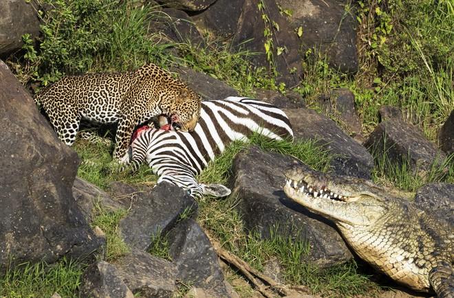 Ngựa vằn vượt thoát khỏi cá sấu, ngờ đâu trên bờ còn có kẻ khác rình rập rồi ra đòn - Ảnh 1.