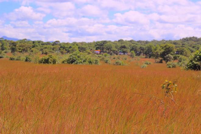 Đổ xô tới ngọn đồi bị loại cỏ nhuộm màu hồng quyến rũ - Ảnh 1.