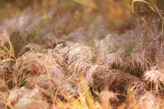 Đổ xô tới ngọn đồi bị loại cỏ nhuộm màu hồng quyến rũ - Ảnh 2.