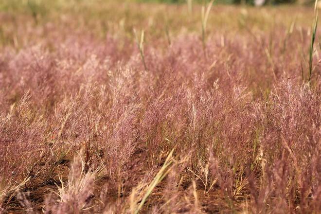 Đổ xô tới ngọn đồi bị loại cỏ nhuộm màu hồng quyến rũ - Ảnh 9.