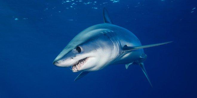 Cuộc chiến bảo vệ cá mập mako vây ngắn Bắc Đại Tây Dương: EU và Mỹ phá hỏng cơ hội vàng - Ảnh 1.
