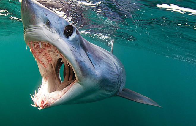 Cuộc chiến bảo vệ cá mập mako vây ngắn Bắc Đại Tây Dương: EU và Mỹ phá hỏng cơ hội vàng - Ảnh 3.