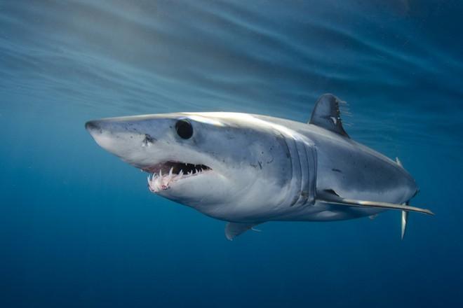 Cuộc chiến bảo vệ cá mập mako vây ngắn Bắc Đại Tây Dương: EU và Mỹ phá hỏng cơ hội vàng - Ảnh 2.