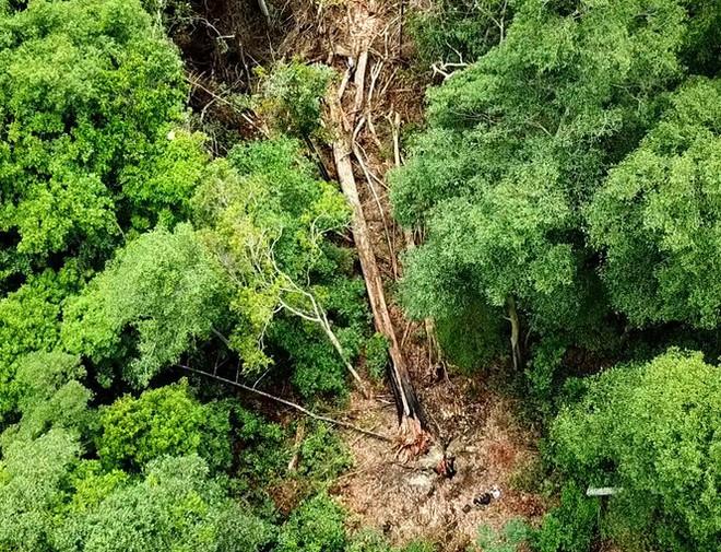 Tận thấy hiện trường rừng giáng hương cổ thụ bị tàn phá ở Tây Nguyên - Ảnh 11.