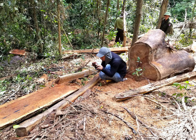 Tận thấy hiện trường rừng giáng hương cổ thụ bị tàn phá ở Tây Nguyên - Ảnh 3.