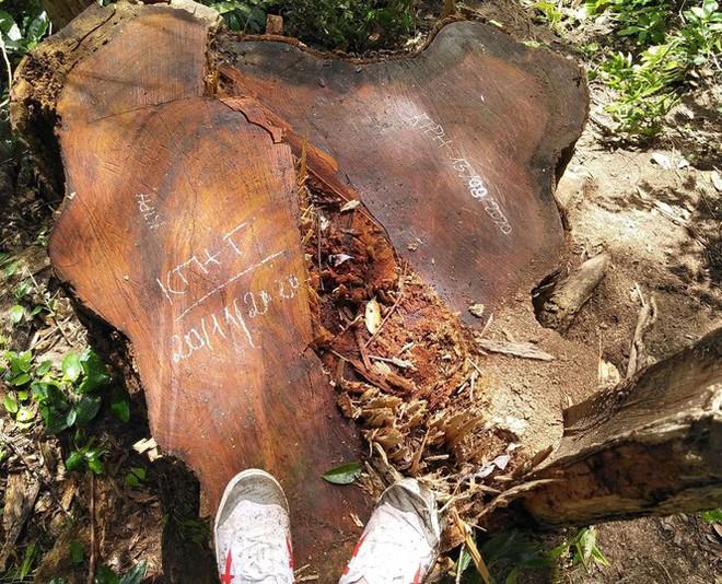 Tận thấy hiện trường rừng giáng hương cổ thụ bị tàn phá ở Tây Nguyên - Ảnh 4.