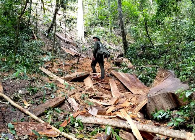 Tận thấy hiện trường rừng giáng hương cổ thụ bị tàn phá ở Tây Nguyên - Ảnh 5.
