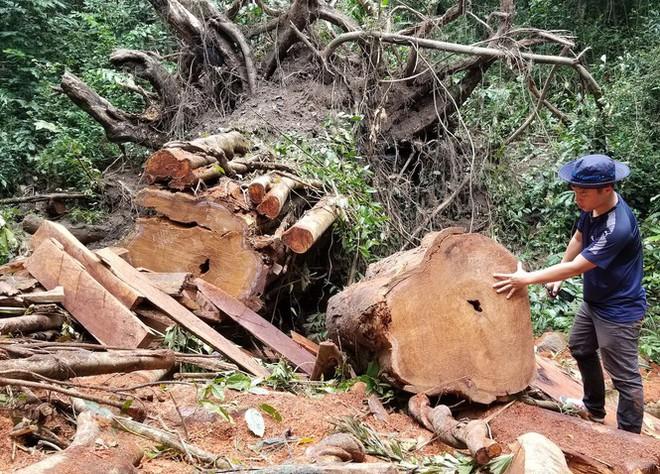 Tận thấy hiện trường rừng giáng hương cổ thụ bị tàn phá ở Tây Nguyên - Ảnh 6.