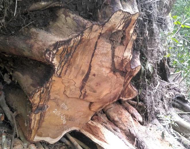 Tận thấy hiện trường rừng giáng hương cổ thụ bị tàn phá ở Tây Nguyên - Ảnh 8.