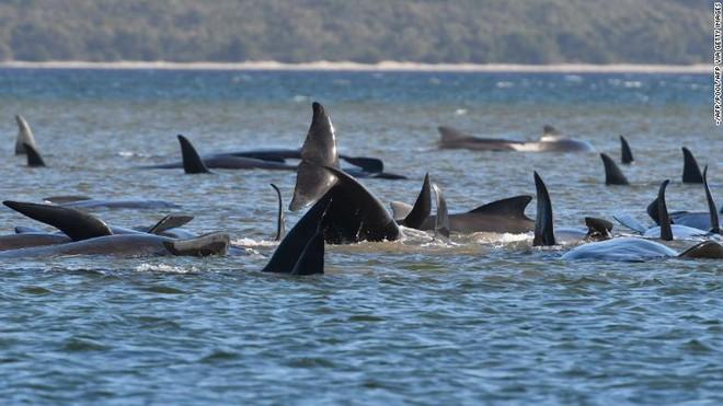 470 con cá voi hoa tiêu xuất hiện dày đặc trên bờ biển Australia - chuyện gì đã xảy ra? - Ảnh 2.