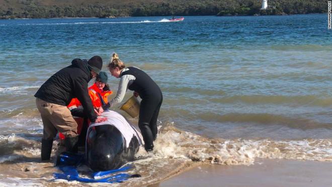 470 con cá voi hoa tiêu xuất hiện dày đặc trên bờ biển Australia - chuyện gì đã xảy ra? - Ảnh 1.