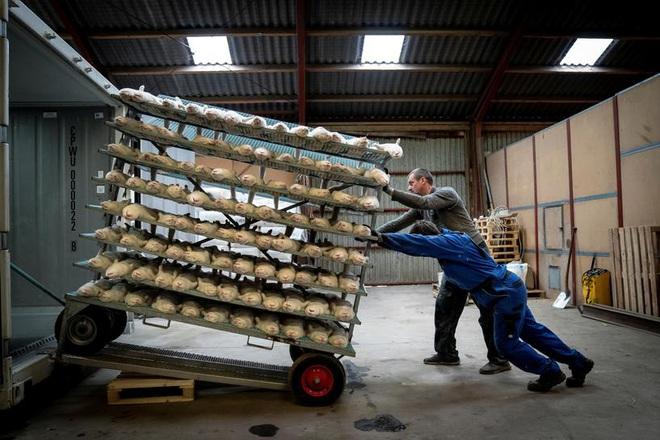Đan Mạch chôn sống 17 triệu con chồn, giờ lại phải đào lên - ảnh 1