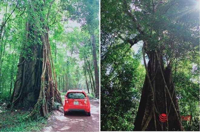 Cây kơ nia lớn nhất Việt Nam gây ấn tượng đặc biệt trong khu bảo tồn thiên nhiên Đồng Nai - Ảnh 2.