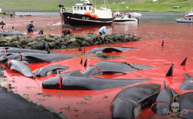 Quần đảo nơi hàng năm diễn ra 'hành động man rợ' nhắm vào hàng trăm con cá voi xấu số