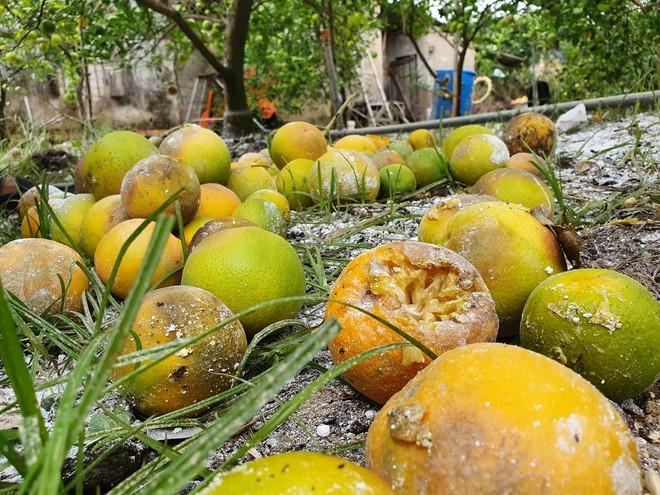 Vườn cam quý ngập nặng, chủ vườn mếu máo vứt bỏ những trái thối - Ảnh 2.