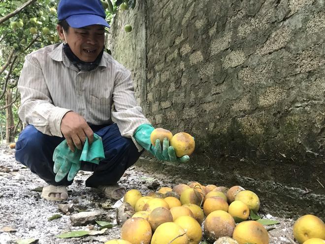Vườn cam quý ngập nặng, chủ vườn mếu máo vứt bỏ những trái thối - Ảnh 3.