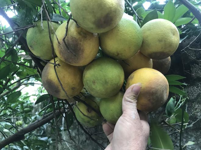 Vườn cam quý ngập nặng, chủ vườn mếu máo vứt bỏ những trái thối - Ảnh 5.