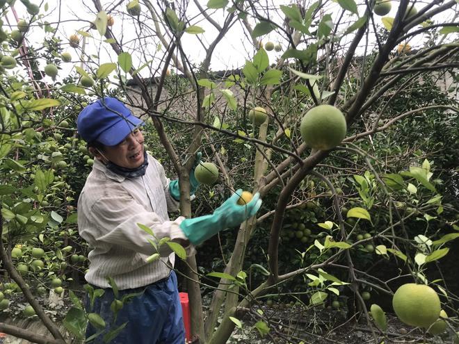 Vườn cam quý ngập nặng, chủ vườn mếu máo vứt bỏ những trái thối - Ảnh 1.