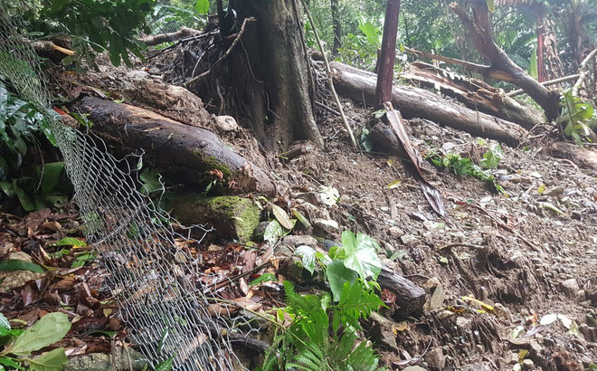 Vườn sâm Ngọc Linh của người dân Quảng Nam bị hư hại nặng nề do mưa bão
