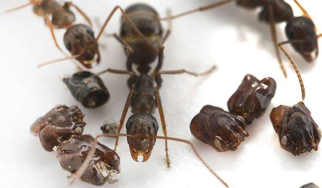 Kỳ lạ loài kiến thích sưu tập đầu lâu của kẻ thù để trang trí tổ - Ảnh 2.