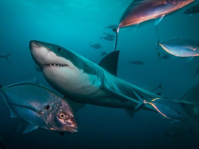 Câu hỏi khoa học: Cá mập có khung xương rất to và rắn chắc hay không có xương? - Ảnh 1.