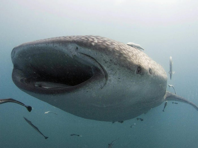 Câu hỏi khoa học: Cá mập có khung xương rất to và rắn chắc hay không có xương? - Ảnh 3.
