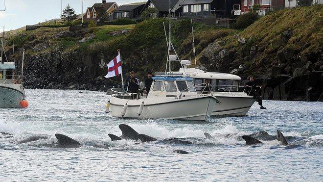 Quần đảo nơi hàng năm diễn ra hành động man rợ nhắm vào hàng trăm con cá voi xấu số - Ảnh 1.