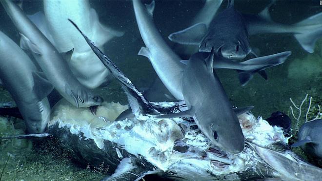 Điên cuồng rỉa thịt cá kiếm, cá mập không hề biết mình sắp thành con mồi: Một bóng đen lù lù tiến đến - Ảnh 1.