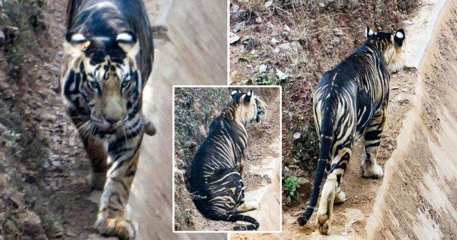 Cận cảnh vẻ đẹp của loài hổ quỷ siêu hiếm: Thế giới chỉ còn khoảng 8 con - Ảnh 1.