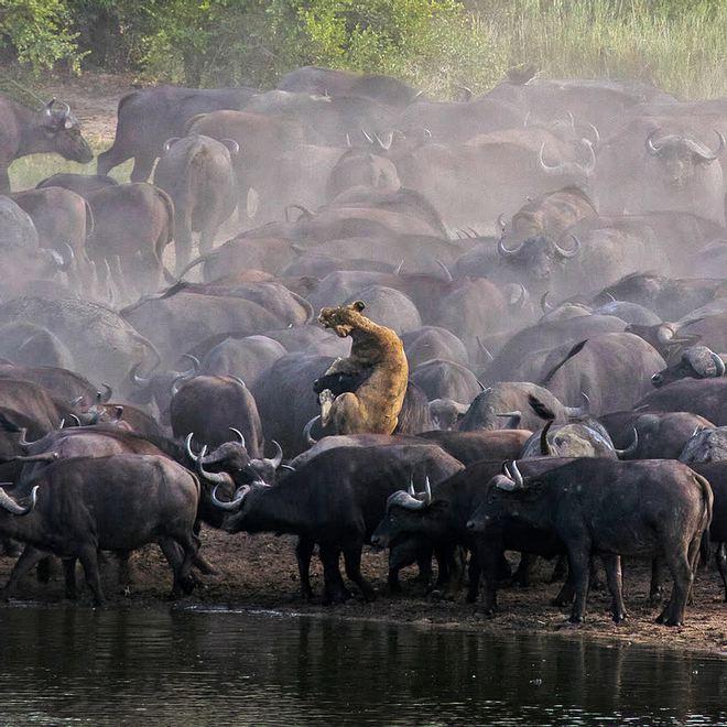Sư tử rơi vào vòng vây của hơn 100 con trâu rừng: Cái chết bi thảm ngay trên lưng kẻ thù - Ảnh 10.