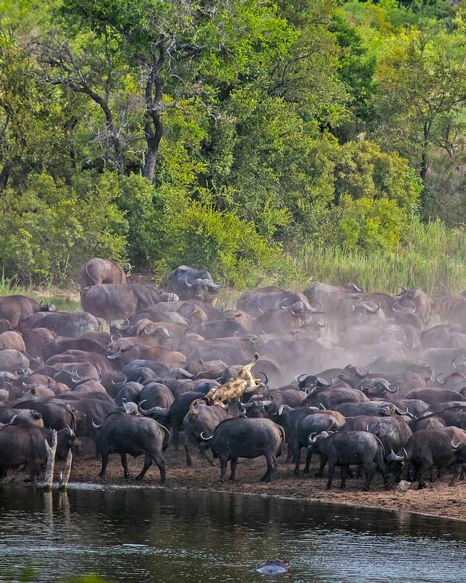 Sư tử rơi vào vòng vây của hơn 100 con trâu rừng: Cái chết bi thảm ngay trên lưng kẻ thù - Ảnh 11.