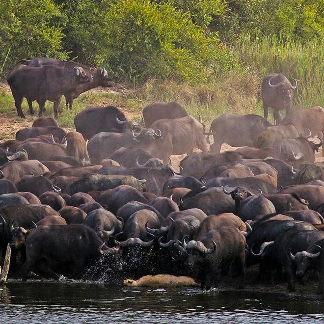 Sư tử rơi vào vòng vây của hơn 100 con trâu rừng: Cái chết bi thảm ngay trên lưng kẻ thù - Ảnh 12.
