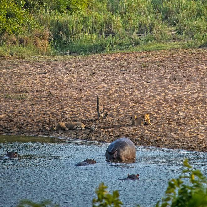 Sư tử rơi vào vòng vây của hơn 100 con trâu rừng: Cái chết bi thảm ngay trên lưng kẻ thù - Ảnh 13.