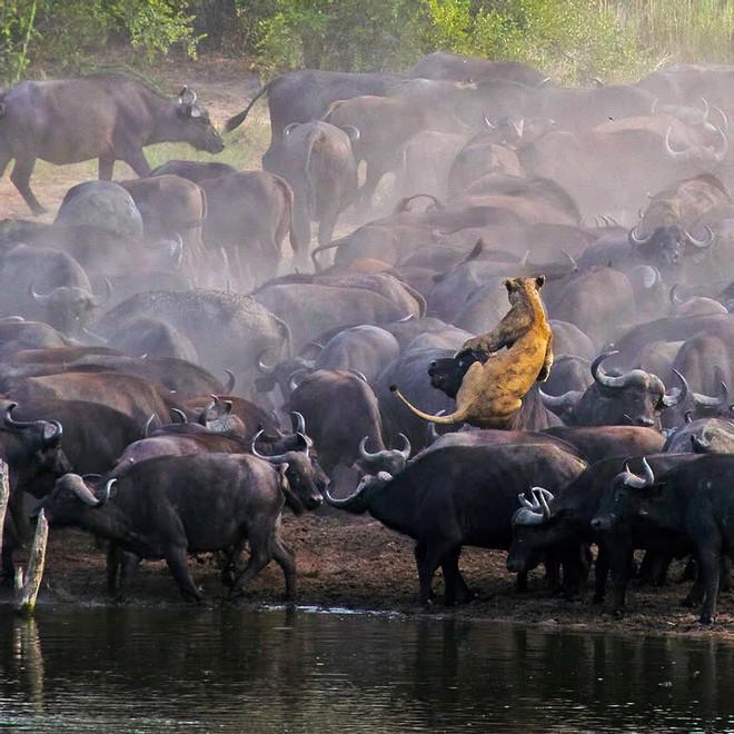 Sư tử rơi vào vòng vây của hơn 100 con trâu rừng: Cái chết bi thảm ngay trên lưng kẻ thù - Ảnh 1.