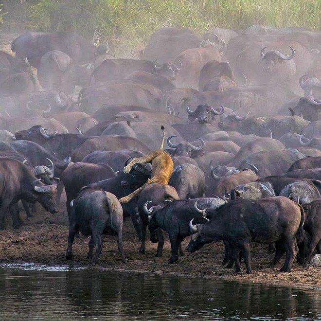 Sư tử rơi vào vòng vây của hơn 100 con trâu rừng: Cái chết bi thảm ngay trên lưng kẻ thù - Ảnh 2.