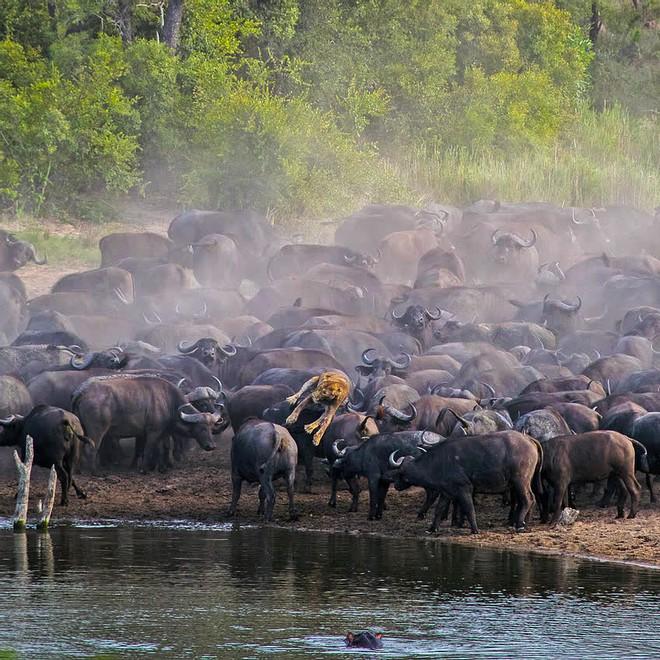 Sư tử rơi vào vòng vây của hơn 100 con trâu rừng: Cái chết bi thảm ngay trên lưng kẻ thù - Ảnh 3.