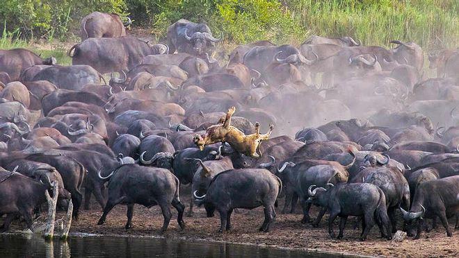 Sư tử rơi vào vòng vây của hơn 100 con trâu rừng: Cái chết bi thảm ngay trên lưng kẻ thù - Ảnh 5.