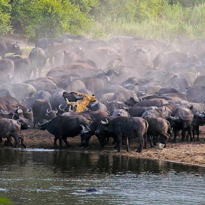 Sư tử rơi vào vòng vây của hơn 100 con trâu rừng: Cái chết bi thảm ngay trên lưng kẻ thù - Ảnh 6.
