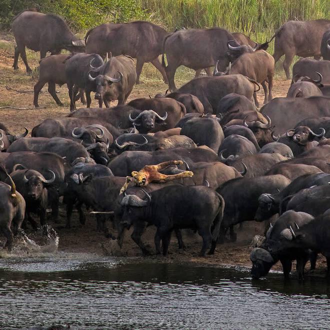 Sư tử rơi vào vòng vây của hơn 100 con trâu rừng: Cái chết bi thảm ngay trên lưng kẻ thù - Ảnh 7.