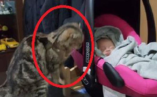 """Mèo cưng nhìn chằm chằm vào con nhỏ nhưng chủ nhân không bận tâm, một hôm về nhà sớm mới nhận ra bộ mặt thật của con vật """"tâm cơ"""""""