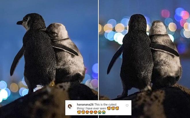 Sự thật bất ngờ đằng sau bức ảnh hai chú chim cánh cụt ôm nhau gây bão