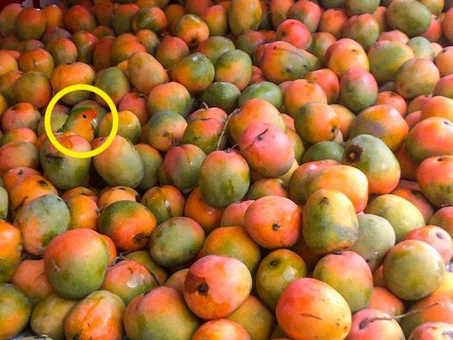 Thách thức thị giác 3 giây: Đố bạn tìm ra con vẹt trong đống quả xoài? - Ảnh 2.