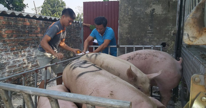 Giá lợn hơi tăng từng ngày, tiểu thương lo Tết ế thịt lợn vì giá cao - Ảnh 1.