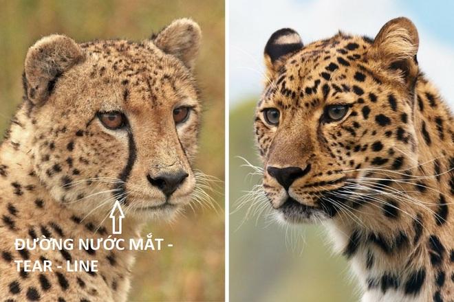 Cheetah-vs-Leopard-1024x683