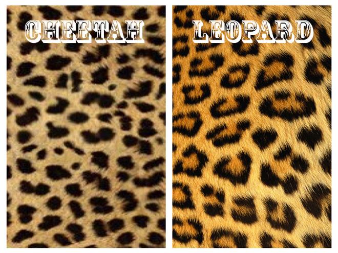 cheetahleopard
